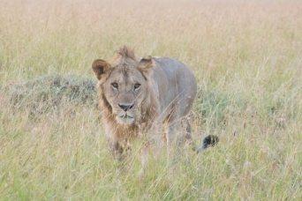 サファリと百獣の王(ライオン)