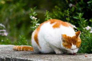 餌を食べるネコ
