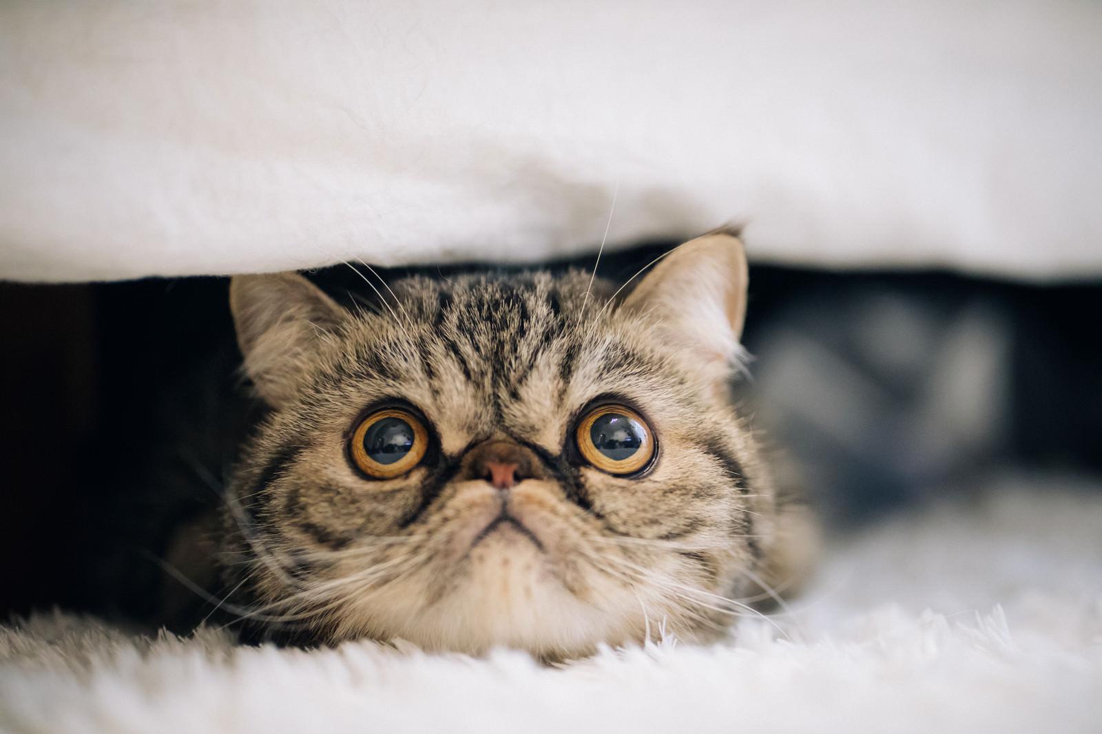 「目を見開いた猫(エキゾチックショートヘア)」