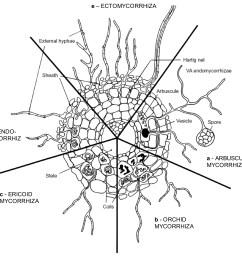 main types of extant mycorhizae [ 2196 x 2042 Pixel ]