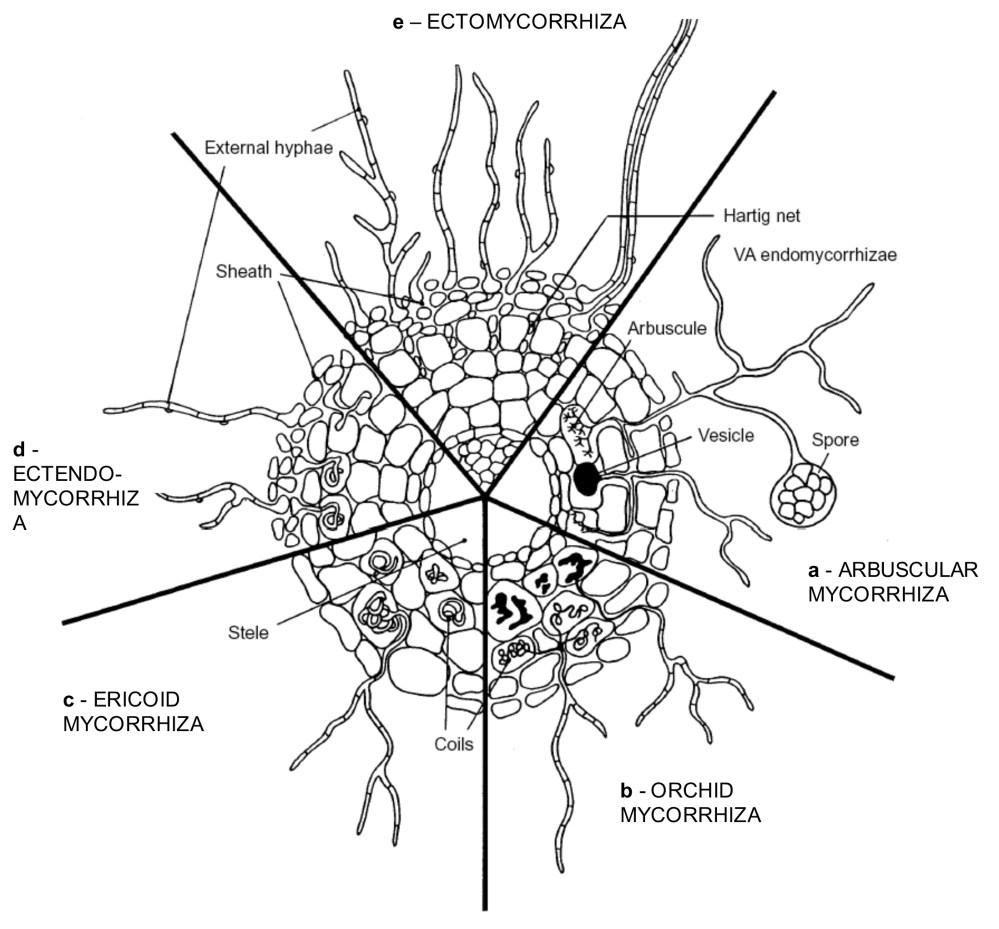 medium resolution of main types of extant mycorhizae