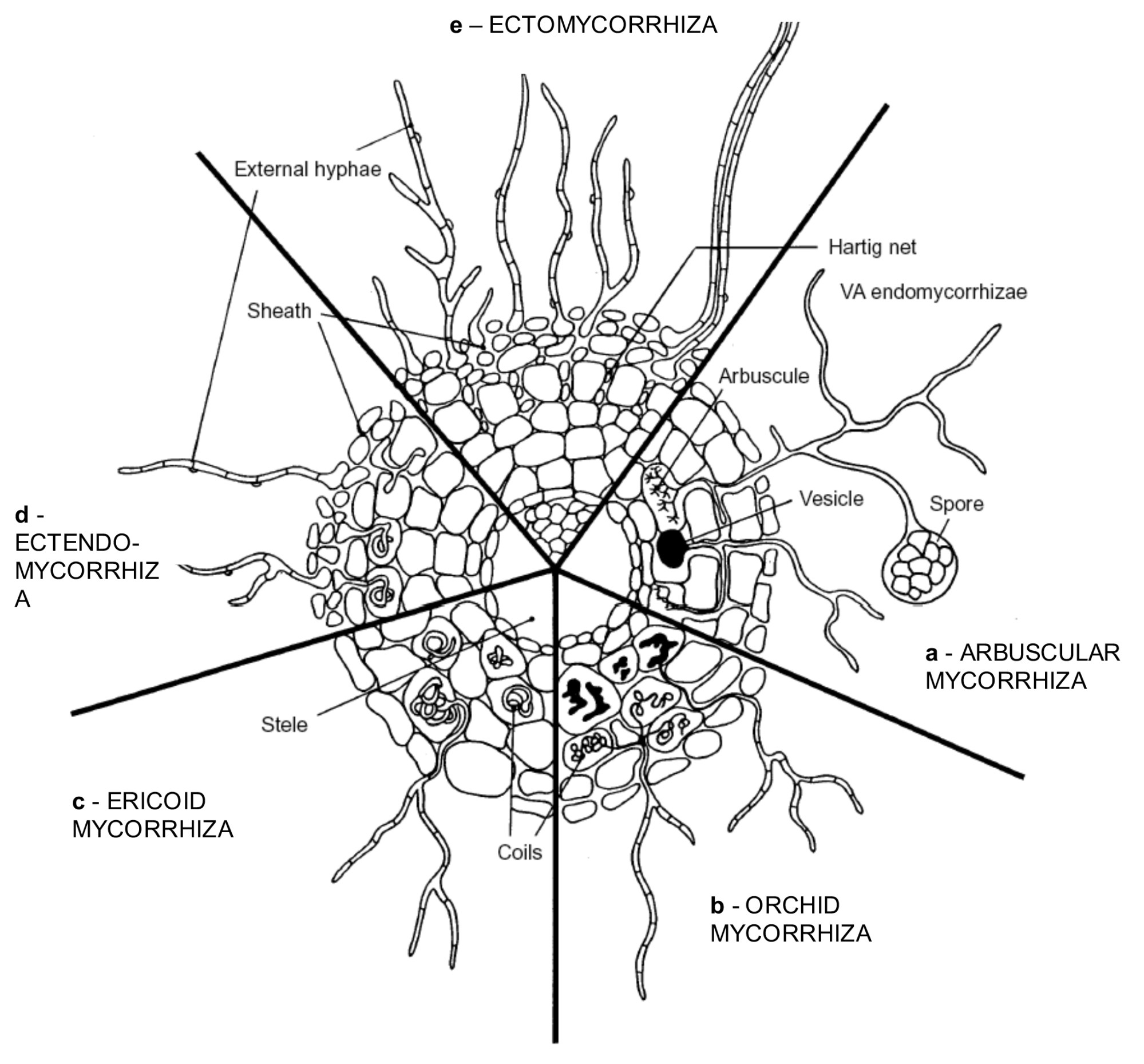 hight resolution of main types of extant mycorhizae