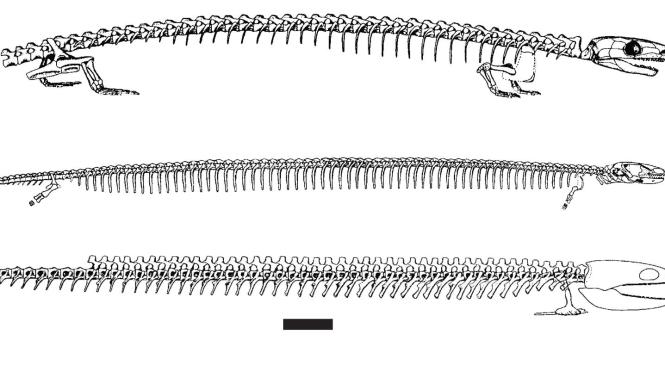 Fossil Focus: The ecology and evolution of the Lepospondyli