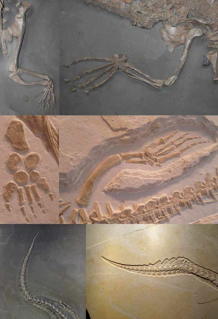Figure 12 — Modifications of the limbs and tail in Thalattosuchia, showing the evolution of flippers and a tail fin, and loss of bony armour. Top: The forelimb (left) and hindlimb (right) of the teleosauroid Platysuchus multiscrobiculatus, Lower Jurassic (early Tithonian, Posidonienschiefer Formation) of Holzmaden (Germany). Middle: The forelimb (left) and hindlimb (right) of the metriorhynchid Dakosaurus maximus, Upper Jurassic (late Kimmeridgian, Torleite Formation) of Painten (Germany). Bottom: End of the tail of the teleosauroid Steneosaurus bollensis (left) and the metriorhynchid Cricosaurus sp. (right). Credit: M. Young and S. Sachs.