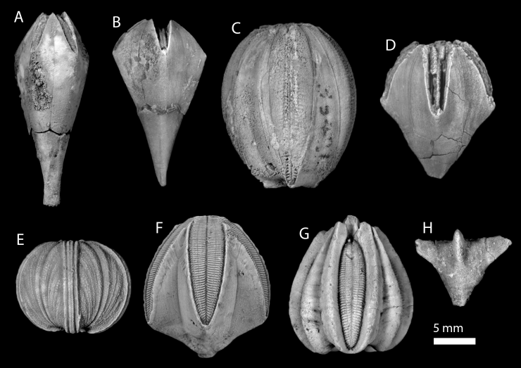 Figure 6 — Demonstrating the variety of blastoid forms. (A) Troosticrinus reinwardti, Silurian; (B) Decaschisma pulchellum, Silurian; (C) Elaeacrinus verneuili, Devonian; (D) Hyperoblastus reimanni, Devonian; (E) Globoblastus norwoodi, Mississippian; (F) Pentremites godoni, Mississippian; (G) Deltoblastus permicus, Permian; (H) Pterotoblastus gracilis, Permian. Credit: J. W. Atwood and J. E. Bauer.