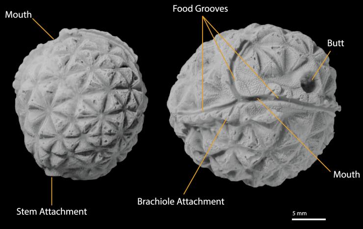 Figure 1 — Key paracrinoid features labelled on Oklahomacystis tribrachiatus. Credit: M. Limbeck.