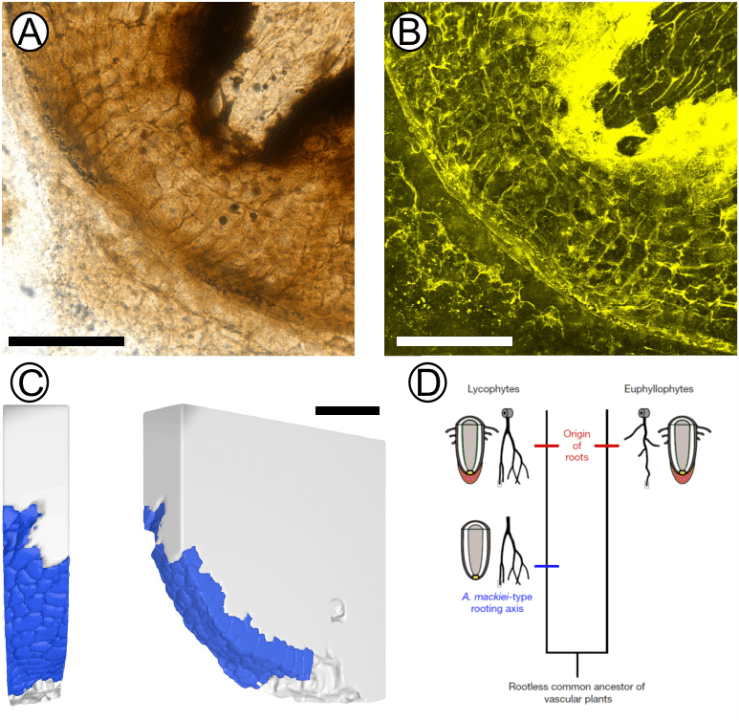 Figure 3 — A, B. Images showing that the cell-division patterns in meristems of the rooting axes of A. mackiei are inconsistent with the formation of root caps — taken with a transmitted-light microscope (A) and a confocal laser microscope (B). Scale bars 100 micrometres. C. Three-dimensional model showing that the meristems of the rooting axes of A. mackiei were covered by a continuous layer of epidermis and lacked a root cap. Scale bar 50 micrometres. D. A diagram showing the stepwise manner by which roots of extant lycophytes might have evolved. Modified from Hetherington & Dolan (2018).