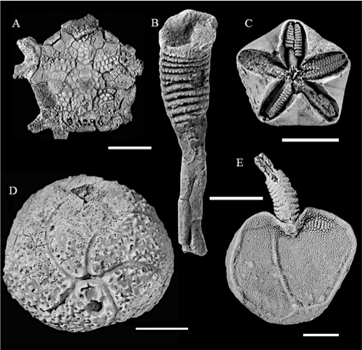 Figure 1 — Palaeozoic echinoderms show highly diverse body morphologies. A. Marsupiocrinus stellatus (Crinoidea; USNM S1296); modified from Kammer et al. (2013). B. Minervaecystis sp. (Eocrinoidea, USNM 143); modified from Sumrall et al. (1997). C. Troosticrinus reinwardti (Blastoidea, CMCIP 67717); modified from Sumrall and Waters (2012). D. Gomphocystites indianensis (Diploporita, FMNH, 19708); modified from Sheffield and Sumrall (2017). E. Cardiocystella prolixora (Stylophora, 1791TX13); modified from Zamora et al. (2013). All specimens from localities in the United States. USNM, United States National Musuem; CMCIP, Cincinnati Museum Center Invertebrate Paleontology; FMNH, Field Museum of Natural History; TX, University of Texas. Scale bars, 1 centimetre.