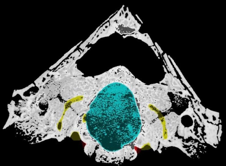 Figure 1 - Cynodont CT image