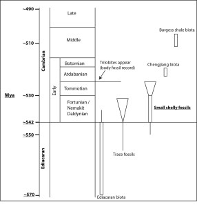 Figure 2 — An approximate timeline of the Cambrian period and late Ediacaran period.