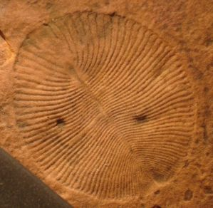 Figure 3 — Dickinsonia costata from the Flinders Ranges, South Australia. One of the most iconic fossils of the late Precambrian, dating to around 555 million years ago.