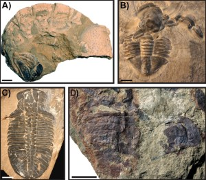Figure 4 — Examples of arthropod moult assemblages preserved in the fossil record. A: Meyeria magna decapod crustacean, OUMNH K.755; B: Asaphiscus wheeleri, KUMIP 153922; C: Ogygopsis klotzi, OUMNH AT.205; D: adelopthalmid eurypterid (sea scorpion), OUMNH D.2184. Scale bars: 5 mm in A and B, 10 mm in C and D.