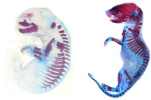 Figure 1 — Cleared-and-stained post-natal marsupial