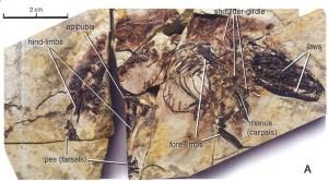 Figure 3 — Sinodelphys szalayi from Luo et al. (2003).