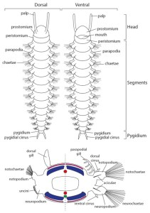 Figure 2 — Generalized polychaete anatomy: Top, dorsal (top) and ventral (bottom) view of a polychaete worm showing its segmented body, parapodia, chaetae and head and associated structures; Bottom, Cross-section showing the various external structures in polychaetes. The left view shows those that might be found in active polychaetes, whereas the right shows examples of structures in burrow- and tube-dwelling polychaetes. Red, blood vessel; green, double nerve cord; pink, circular muscle band; blue, longitudinal muscle band.