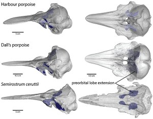 Figure 6 — CT scans of skulls rendered transparent with pterygoid sinuses highlighted in dark blue. Note that the extension of the preorbital lobe in Semirostrum ceruttii (bottom images) is similar in shape and length to that of the Harbour porpoise (top images). They both differ greatly in width from the Dall's porpoise, but all three species have longer extensions than those of other extant porpoises. Image modified from Racicot and Rowe (2014, Journal of Paleontology), from specimen CAS 15278 (California Academy of Sciences).