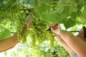 """Caporalato in Puglia: Dopo la sentenza per i fatti di Nardò si intensifichino i controlli anche su gli altri territori in vista della campagna per l'uva"""""""