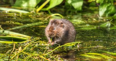Researchers have made voles fall in love – and it could be the basis for new psychiatric treatments