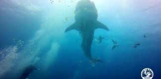 Whale Shark in El Nido