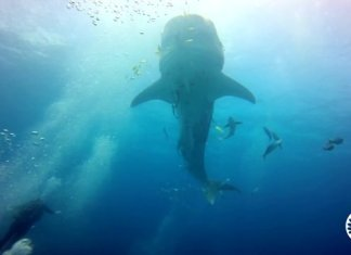 Whale Shark in El Nido