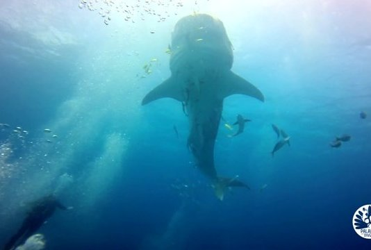 From October to DEcember you can encounter whale sharks in El Nido