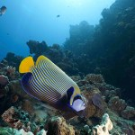 ANGEL FISH in South Miniloc dive site