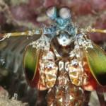 Manta shrimp in el Nido Philippines