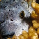 cute puffer fish in el Nido Philippines