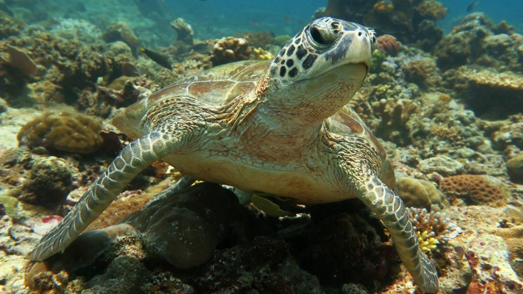 Green Sea Turtle Palawan Divers