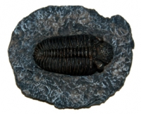 Phacops, trilobite