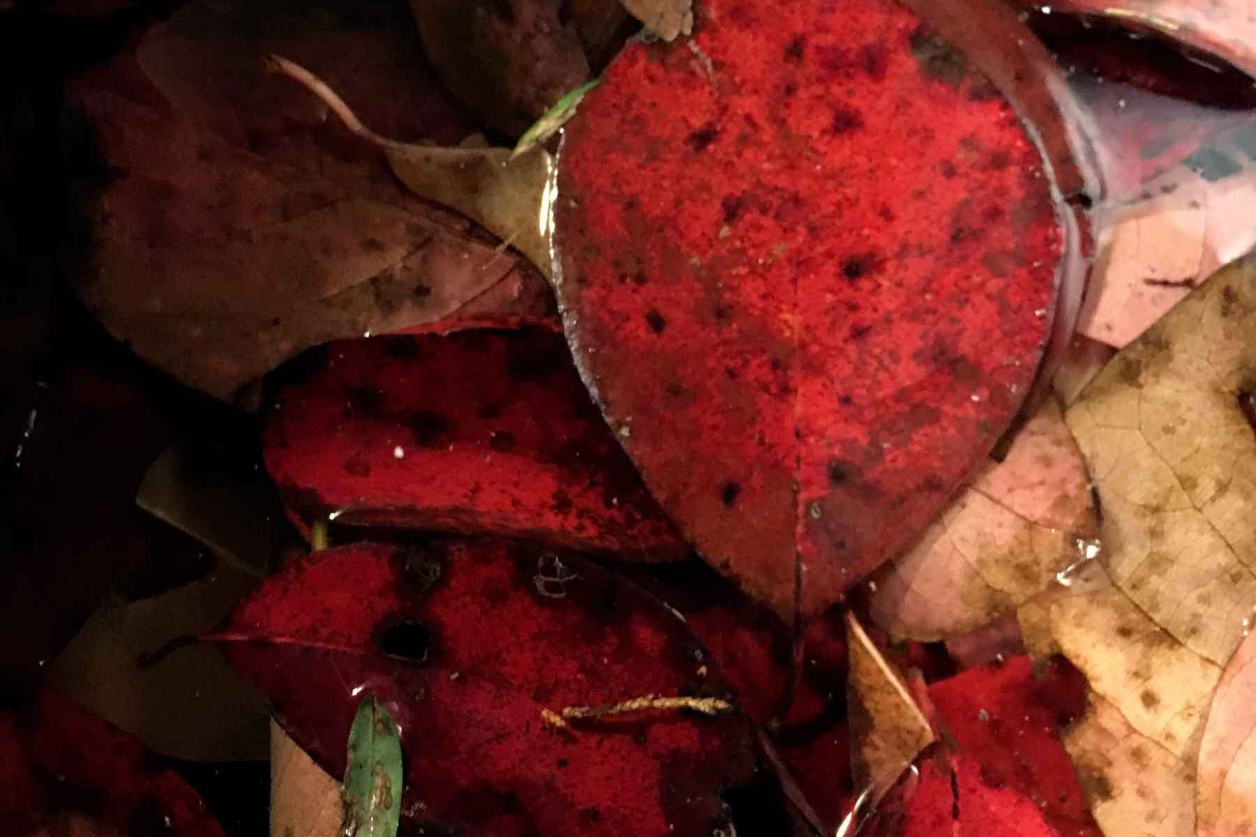 Deep red leaves of the black gum at the end of summer.
