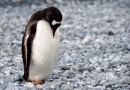On the News   Ancient penguins were giant animals for 30 million years, according to a newly-discovered fossil @ Business Insider