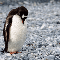 On the News | Ancient penguins were giant animals for 30 million years, according to a newly-discovered fossil @ Business Insider