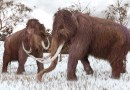 On the News   Dying woolly mammoths were in 'genetic meltdown' @ Nature