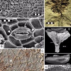 Just out | Neutron tomography of Austrosequoia novae-zeelandiae comb. nov. (Late Cretaceous, Chatham Islands, New Zealand): implications for Sequoioideae phylogeny and biogeography @ Journal of Systematic Palaeontology