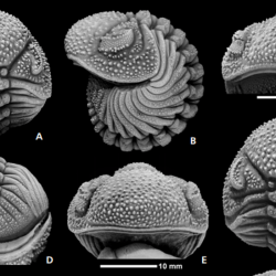 Just out | The phacopine trilobite genera Morocops Basse, 2006 and Adrisiops gen. nov. from the Devonian of Morocco @ Bulletin of Geosciences