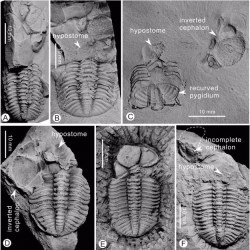 Just out | Behavioural asymmetry in Devonian trilobites @ Palaeogeography, Palaeoclimatology, Palaeoecology