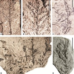Just out | The most ancient member of the Sequoioideae – the new genus Krassilovidendron Sokolova, Gordenko et Zavialova (Cupressaceae s.l.) from the Albian–Cenomanian of Western Siberia (Russia) @ Cretaceous Research