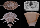 Just out | New azooxanthellate genus of Scleractinia (Flabellidae) from the Australian Cenozoic @ Journal of Paleontology