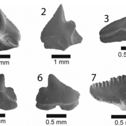 Just out | Late Miocene chondrichthyans from Lago Bayano, Panama: Functional diversity, environment and biogeography @ Journal of Paleontology