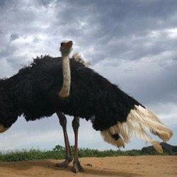 On the News | India | When Ostriches Called India Their Home @ The Wire