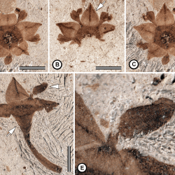 Just out | Flowering after disaster: Early Danian buckthorn (Rhamnaceae) flowers and leaves from Patagonia @ PLOS one