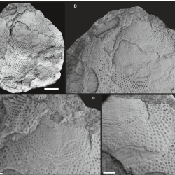 Just out | Unusual pitted Ordovician brachiopods from the East Baltic: the significance of coarsely pitted ornamentations in linguliforms @ Papers in Palaeontology