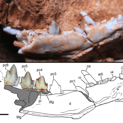 Just out | A new cynodont from the Santa Maria formation, south Brazil, improves Late Triassic probainognathian diversity @ Papers in Palaeontology