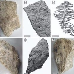 Just out | Gleichenia-like Korallipteris alineae sp. nov. macrofossils (Polypodiophyta) from the Miocene Landslip Hill silcrete, New Zealand @ New Zealand Journal of Botany