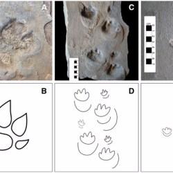 Just out |  A new ichnotaxon classification of large mammaliform trackways from the Lower Cretaceous Botucatu Formation, Paraná Basin, Brazil @Palaeogeography, Palaeoclimatology, Palaeoecology