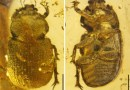 Just out | Protonicagus tani gen. et sp. nov., the first stag beetles from Upper Cretaceous Burmese amber (Coleoptera: Lucanidae: Aesalinae: Nicagini) @ Cretaceous Research