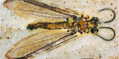 Just out | Taxonomic study of the Cretaceous lacewing family Babinskaiidae (Neuroptera: Myrmeleontoidea: Nymphidoidae), with description of new taxa @ Cretaceous Research