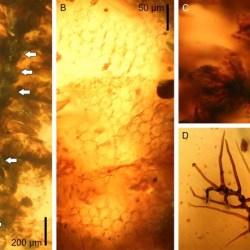 Just out | Frullania pinnata spec. nov. (Frullaniaceae, Porellales), a new leafy liverwort in mid-Cretaceous Burmese amber from Myanmar @Cretaceous Research