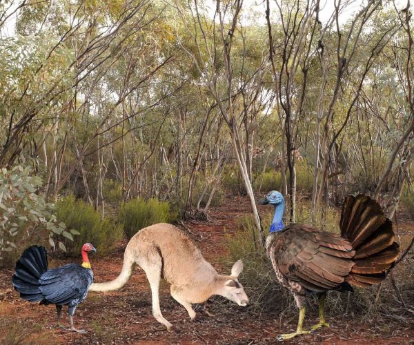 On the News | Australia | Kangaroo-Sized Turkey Lived Millions of Years Ago – and Flew @ Newsmax
